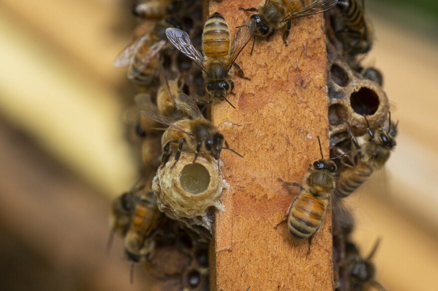 Honeybee colonies typically produce multiple queens before swarming. The queens develop in special cells, like those shown here.