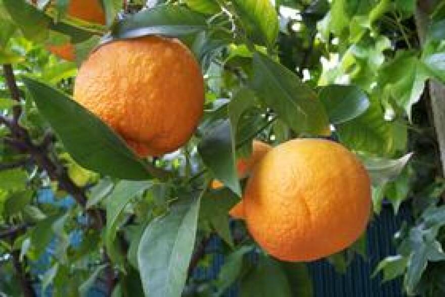 citrus_aurantium_a_barra_wiki.jpg