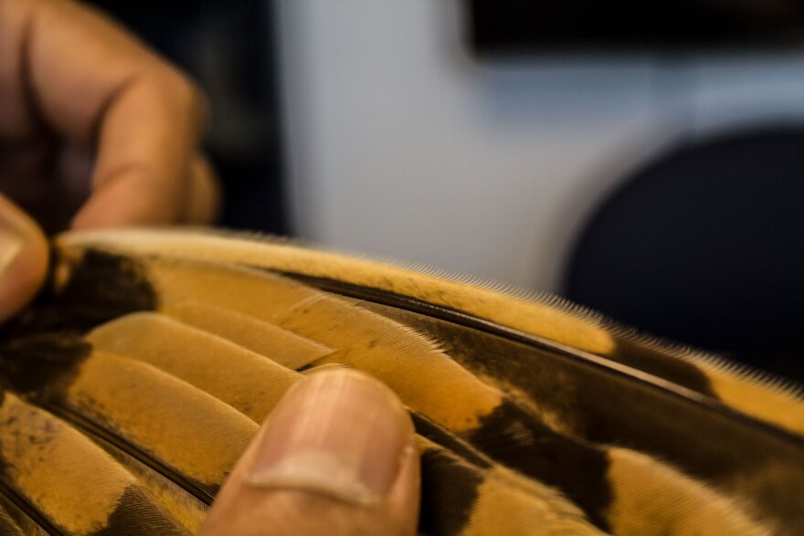 The comb-like structure on the edge of an owl's wing feather is something scientists say helps reduce the noise it makes in flight. That's one of the traits Sharma hopes to mimic with man-made structures for wind turbines.