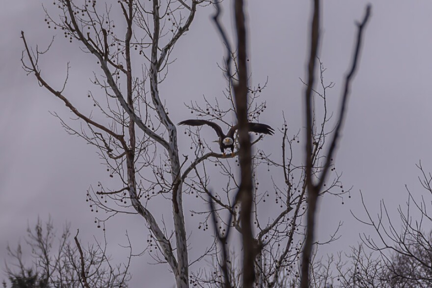 photo of an eagle in a tree