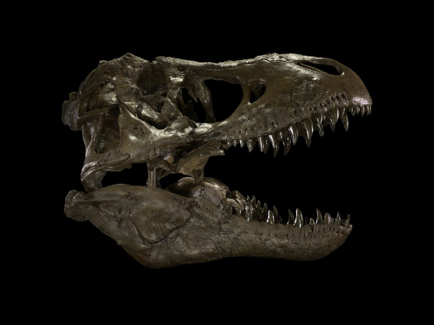 An exact resin copy of the skull of the Wankel T. rex.