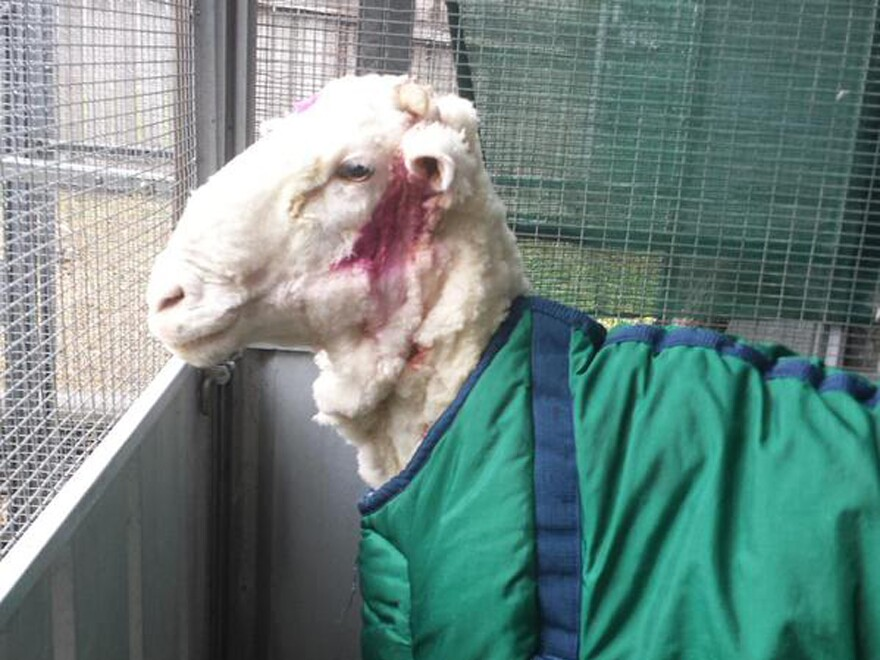AFTER: Chris the sheep stands in a pen after he was shorn for perhaps the first time in his life. He's clean and a little colorful thanks to the pink antibacterial ointment.