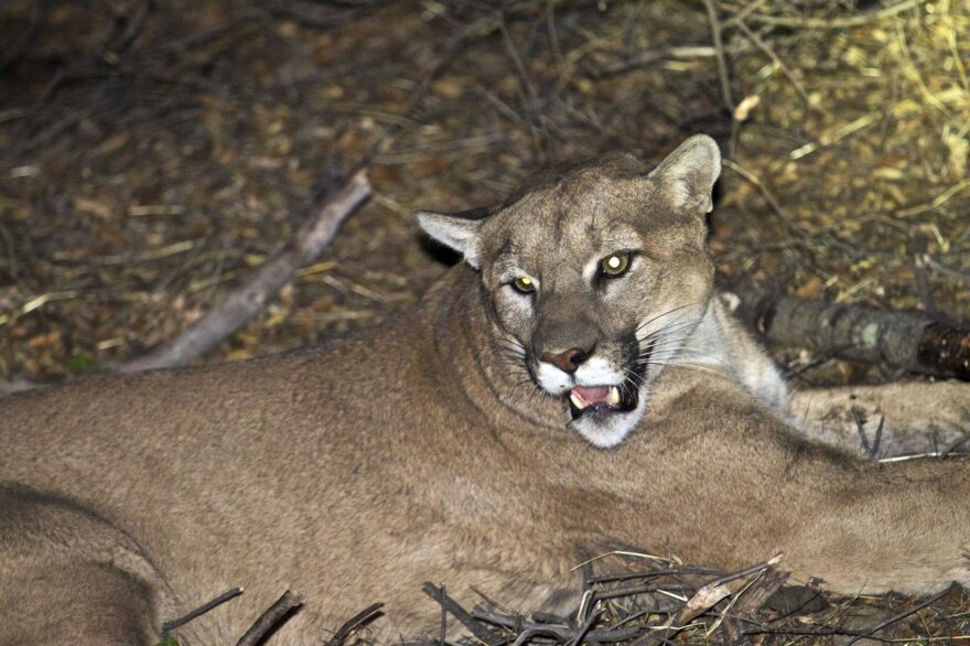 This undated file photo provided by the National Park Service shows a mountain lion, known as P-45, that is believed to be responsible for a series of killings of livestock near Malibu, Calif. (National Park Service via AP, File)
