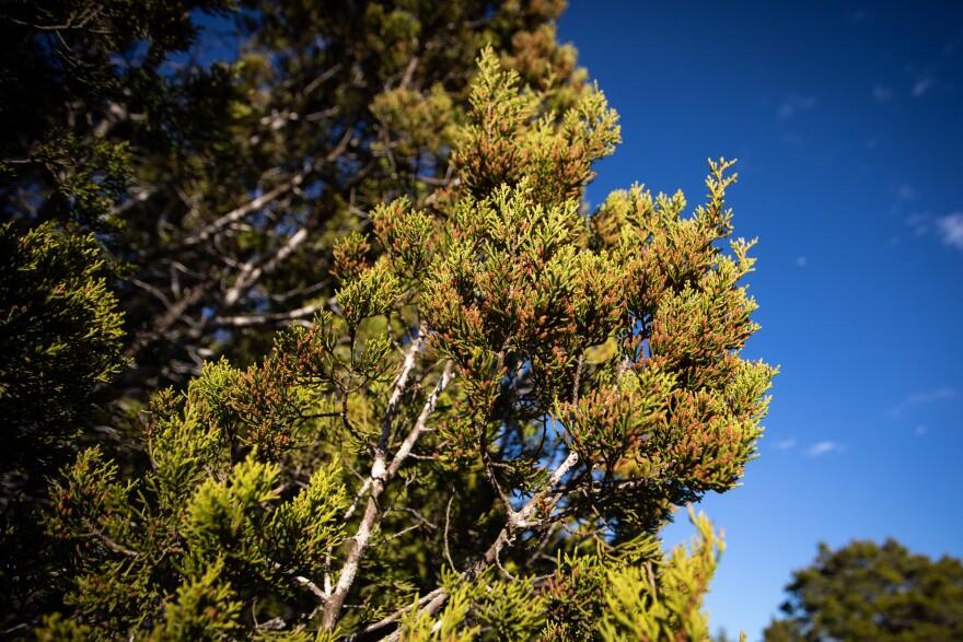 Pollen from Ashe juniper trees trigger IgE antibodies.