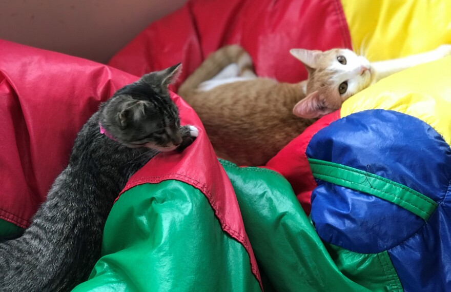 "Two kittens lounge on bean bag chairs at ""Give Purrs A Chance"" in Berkeley Springs, W.Va."