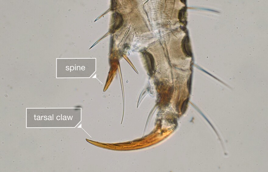At the end of each of its six legs, a head louse has a tarsal claw and a spine, giving it a grip that neatly fits the diameter of a human hair.