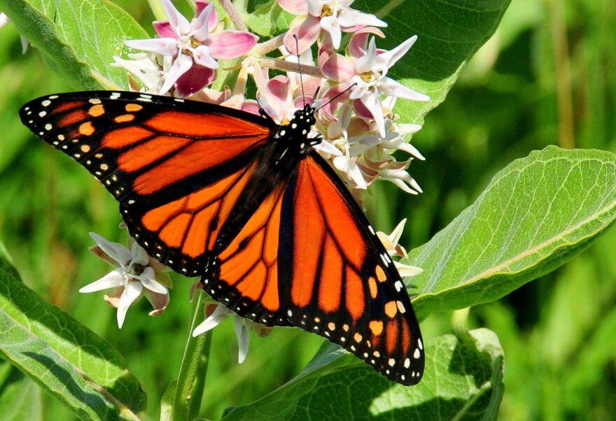 A monarch butterfly feeding on a milkweed plant.