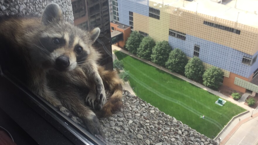 The #mprraccoon mugs for the camera outside a law firm on the 23rd floor. Then, it took a nap on the window sill.