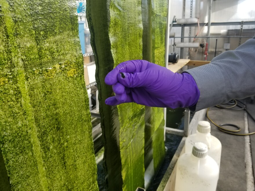 Gross-Wen Technologies is growing algae on belts that circulate through wastewater as a cheaper way to clean that water of phosphorus and nitrogen. It also harvests that algae, scraped off easily here by a gloved hand, to use as slow-release fertilizer.