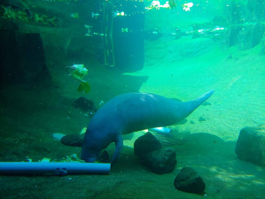 ZooTampa at Lowry Park is caring for four new manatees transferred to the facility from Sea World.