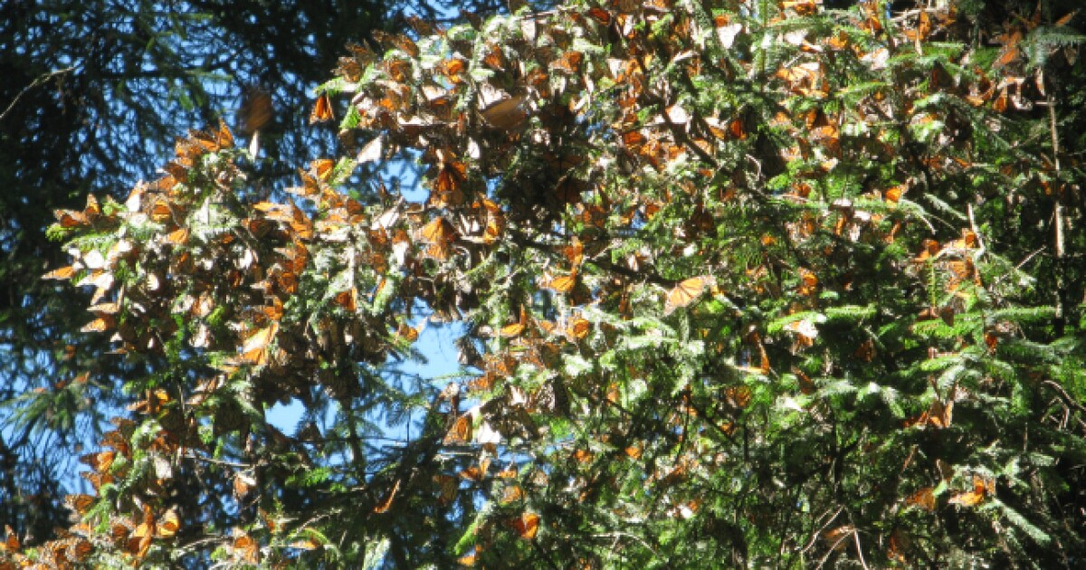 Researchers Say Largest Monarch Butterfly Population In Over A Decade Could Migrate To Iowa