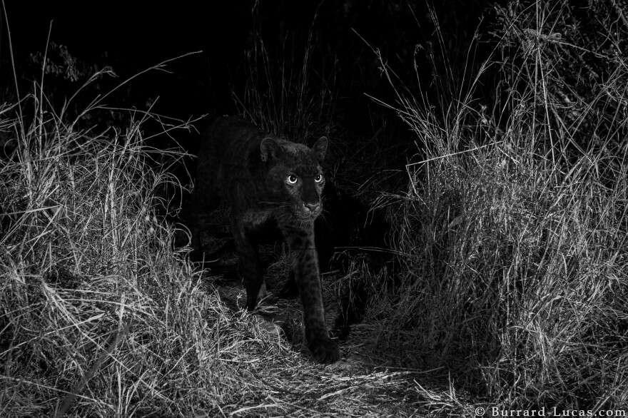 A rare black leopard, caught on camera in Laikipia Wilderness Camp, Kenya.