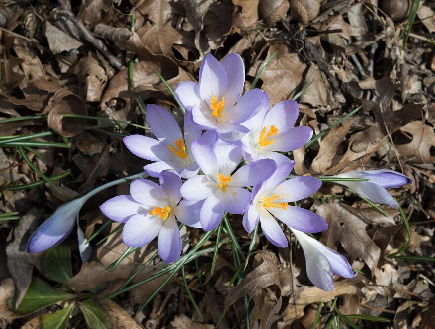 Garden winter crocuses.jpg