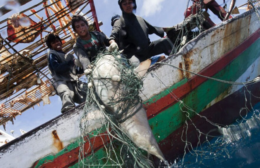 <p>A shark is caught in a fishing net in Indonesia.</p>