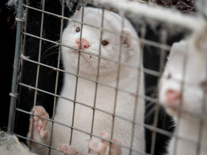 A mink look out from their cage at the farm of Henrik Nordgaard Hansen and Ann-Mona Kulsoe Larsen as they have to kill off their herd, which consists of 3000 mother mink and their cubs on their farm near Naestved, Denmark, on Friday.