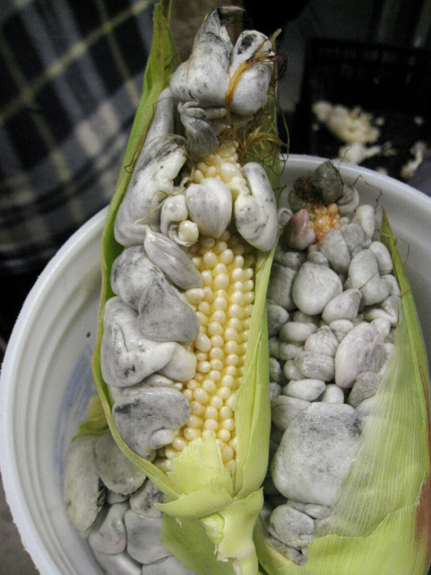 Huitlacoche growing on corn kernels in Mexico.