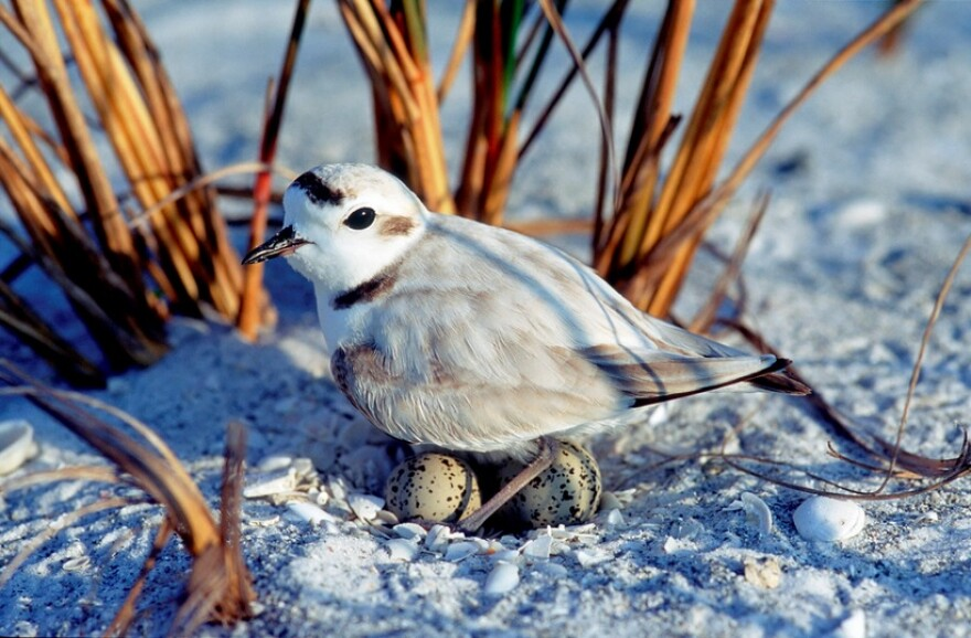 A snowy plover on its nest