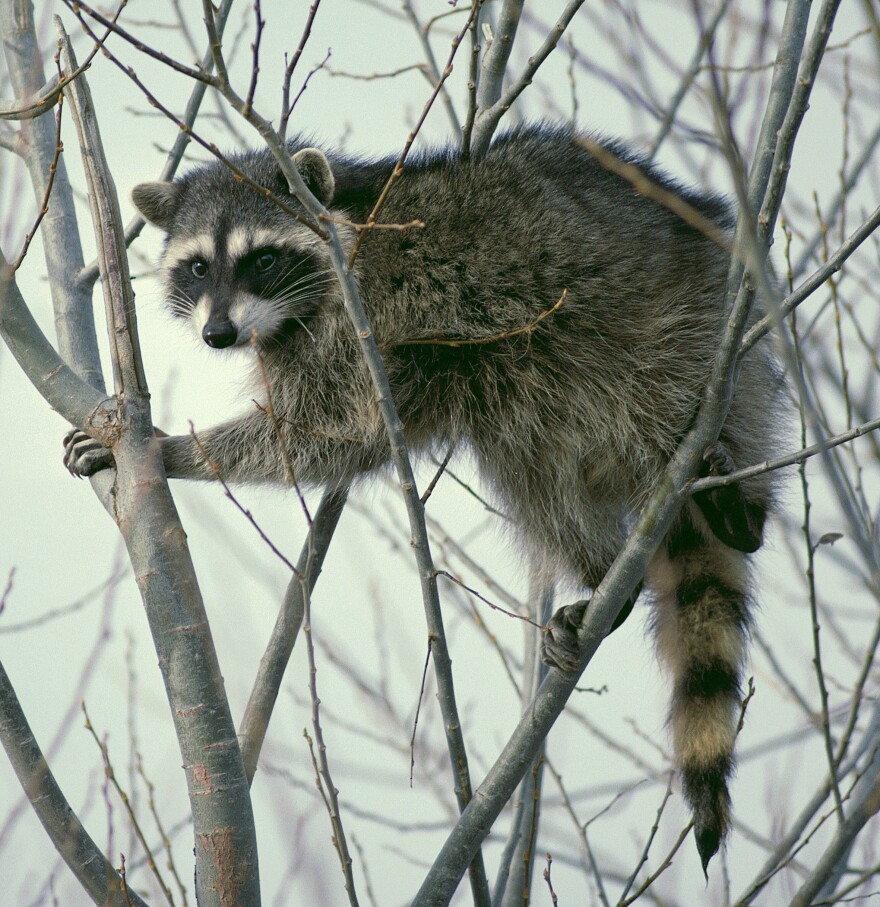 Photo of a racoon climbing a tree