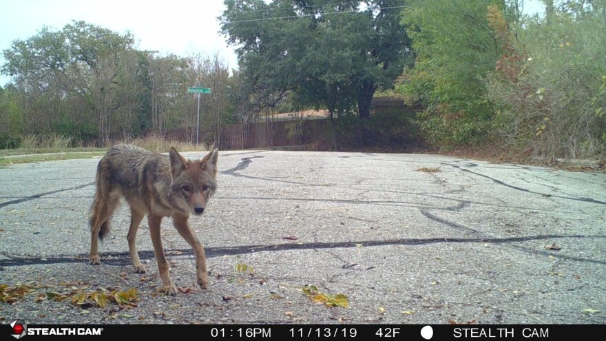 A coyote in the middle of a residential street.