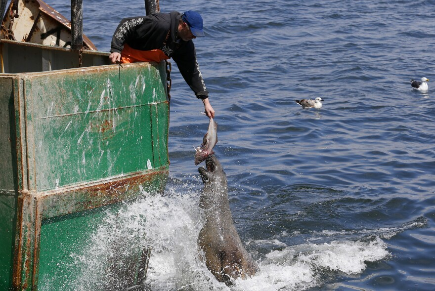 A fisherman holds out a fish for a seal off of a boat owned by Carlos Rafael in New Bedford, Mass. Rafael was the biggest fishing magnate in America's most lucrative port. As he faces sentencing for a scheme to cheat fishing quotas, many worry about the fate of local jobs if his empire is dismantled.