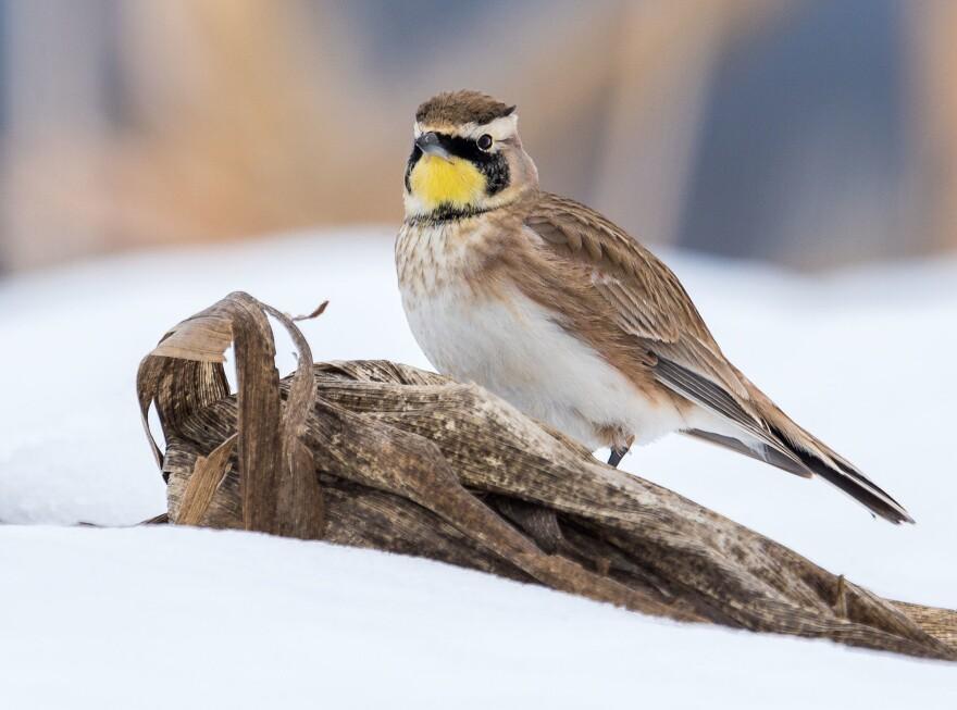 A horned lark