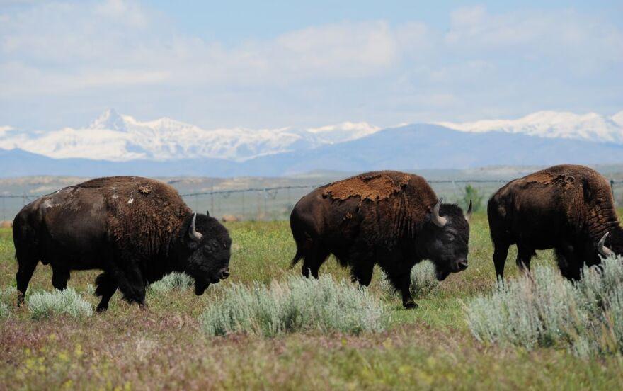 Three bison walk through sagebrush in front of snowcapped mountains.