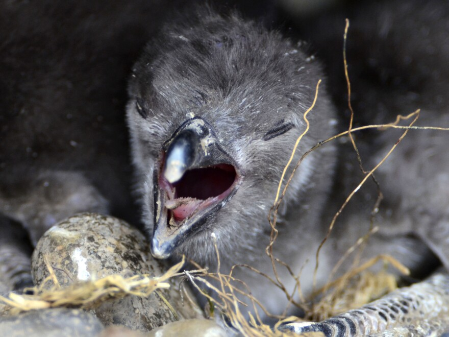 """A penguin nestling sounds off at the Punta Tombo reserve. Young birds that haven't yet traded a down coat for juvenile plumage """"aren't waterproof — at all,"""" says biologist Dee Boersma."""