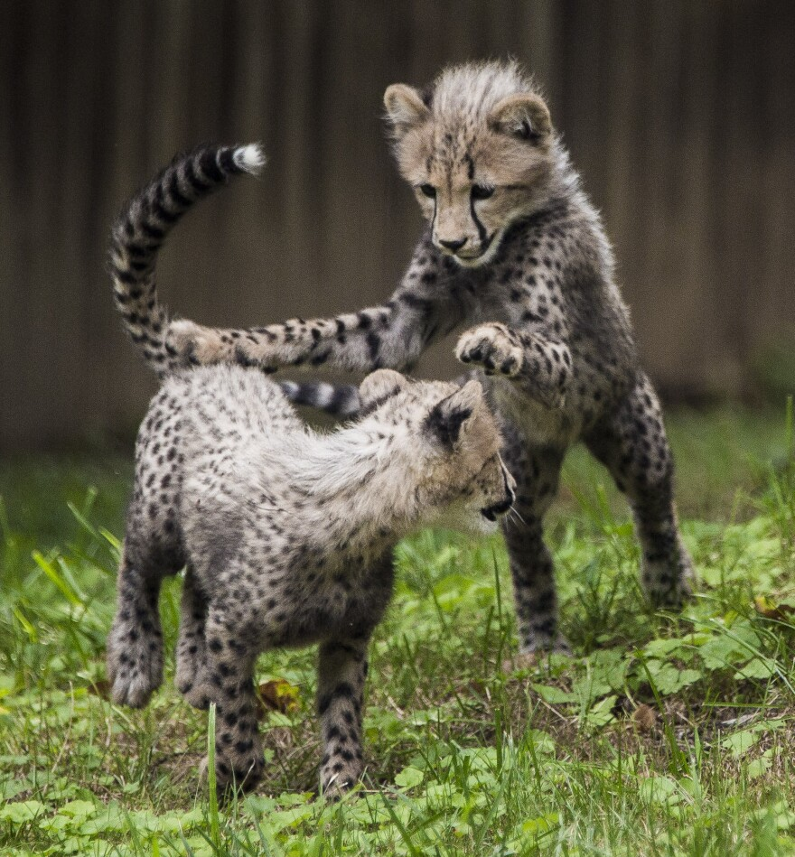 Three-month-old cheetah cubs make their public debut at the Smithsonian National Zoo on Tuesday in Washington, D.C.