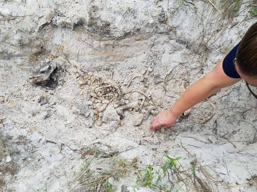 Professor Heather Walsh-Haney examines buried pig remains at FGCU.