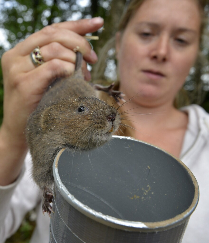 Ecologist Coral Edgcumbe holds a water vole. Water voles were once a common sight in England, but numbers have dropped by almost 90 percent in recent years.