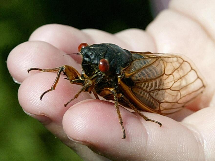 Cicadas live underground and emerge in 13- or 17-year cycles.