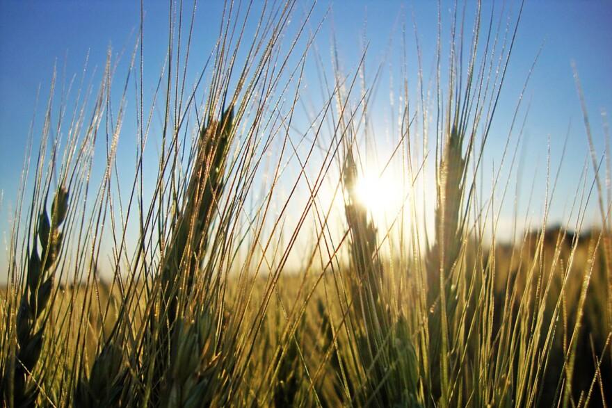 An up close shot of wheat