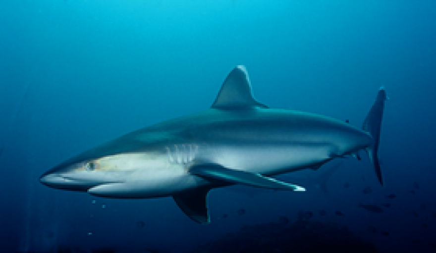 Florida Shark attacks aren't rising, despite record number in North Carolina