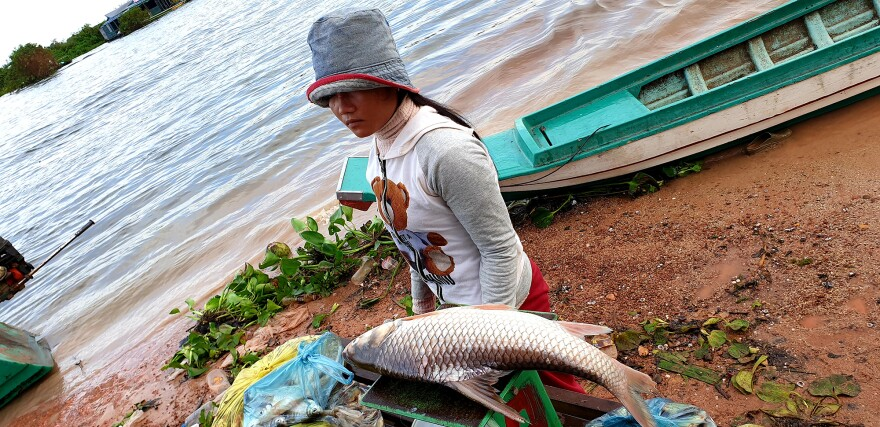 A woman walks by fish being weighed on Khout Phany's scale, one of the larger fish to be brought in this morning. The broker says she's seeing fewer fishermen, fewer fish and smaller fish this year.