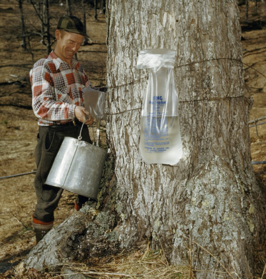 This farmer, pouring maple sap into his pail near Wilmington, Vt., in 1954, may have turned the dregs of the season's sap into beer.
