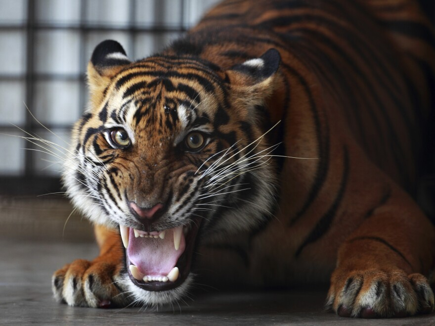 A Sumatran tiger at the Sumatra Tiger Rescue Center near Bandar Lampung on the southern tip of Sumatra island