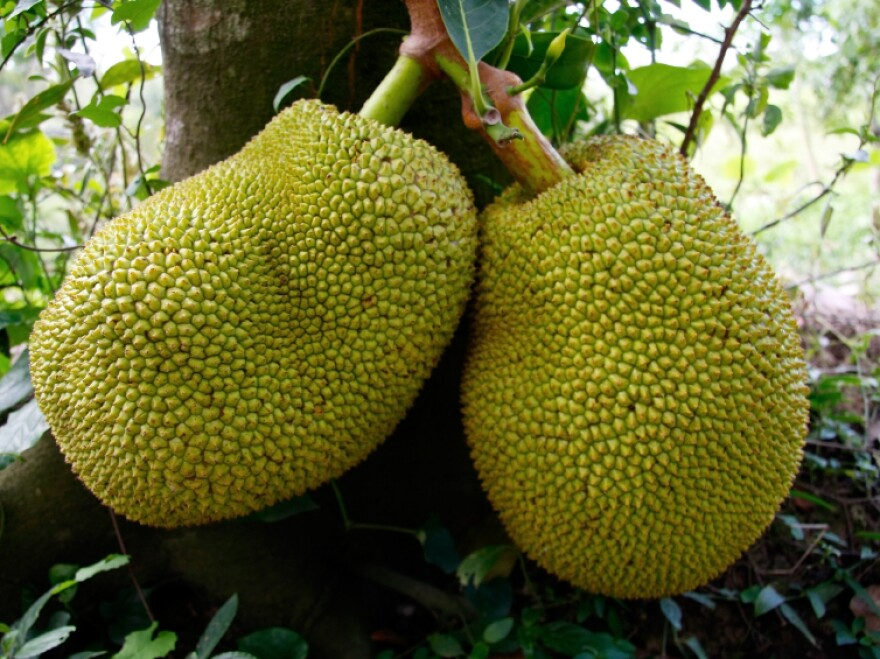Jackfruits grow on the branches and trunks of tall trees. Harvesting them can be messy — the tree oozes white latex that stains everything.