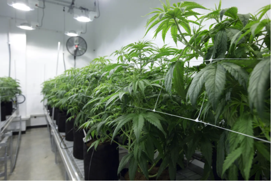 Marijuana plants at Compassionate Cultivation, a home-grown medical cannabis company in Austin.
