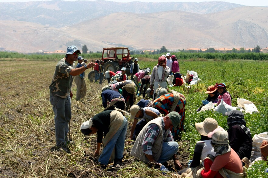 The Lebanese foreman yells at the children in his crew of Syrian refugees, picking potatoes in the Beqaa Valley.