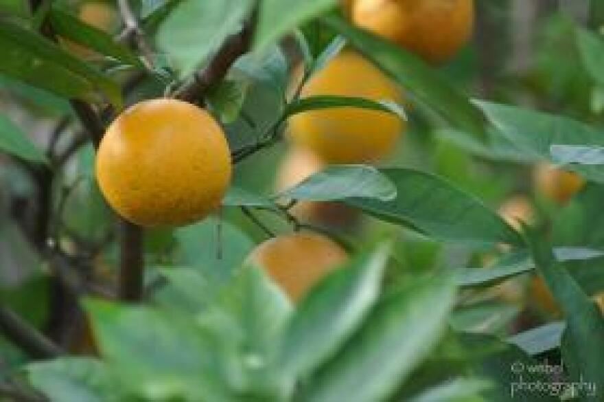 The most recent forecast of Florida citrus crops shows an unexpected increase in oranges.