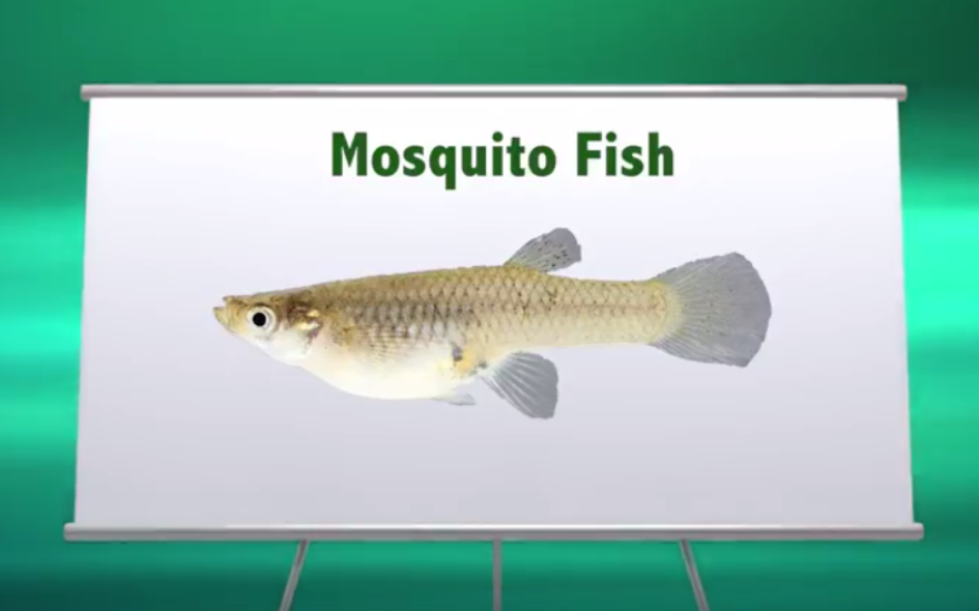 mosquito_fish.png
