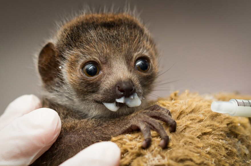 Zoo staff decided to bottle-feed the baby lemur after observing that her mother was unable to nurse her.