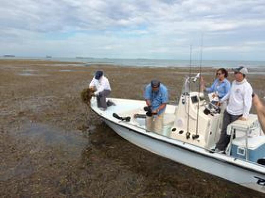 One immediately noticeable impact from Hurricane Irma was floating seagrass, apparently washed into Florida Bay from elsewhere. That seagrass has now sunk to the bottom and started decomposing, adding nutrients that are fuel for algal blooms.