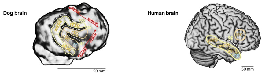 The voice detector in the dog brain (left) is in a location close to the detector region in the human brain (right).