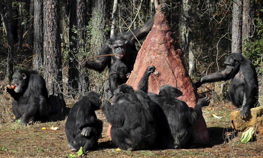 Chimps use sticks to poke into a mock termite mound to taste a sweet substance placed in the mound by keepers at Chimp Haven in Keithville, La. Today, caretakers say, more chimps in the U.S. live in accredited animal sanctuaries than in research facilities.