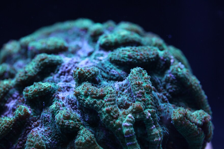 Coral resembling a brain sits at the bottom of the ocean.