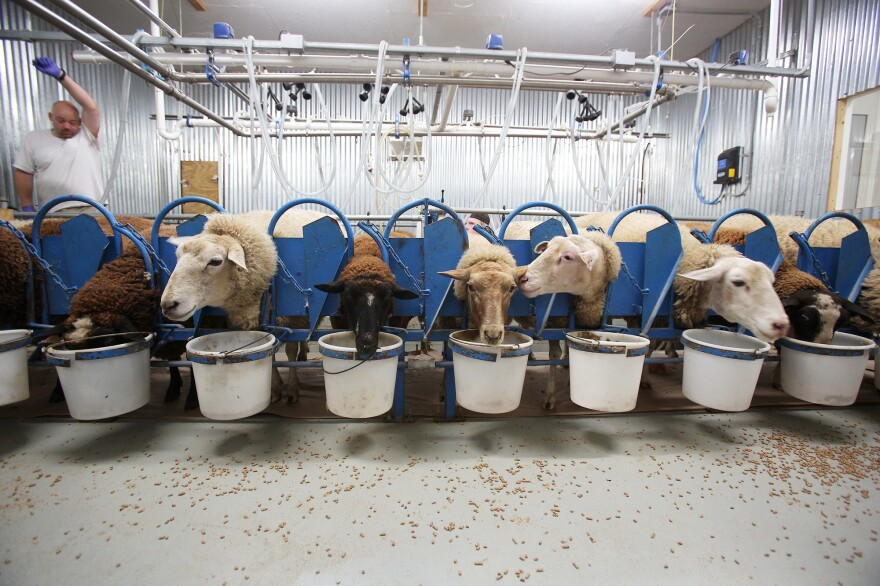 While feasting on a breakfast of hearty grains, the ewes at Dayspring Dairy are milked in two aisles with 12 ewes per aisle. Some have names like Valentine, Fuzzy Nibbleton, July, Cannonball and Latte.
