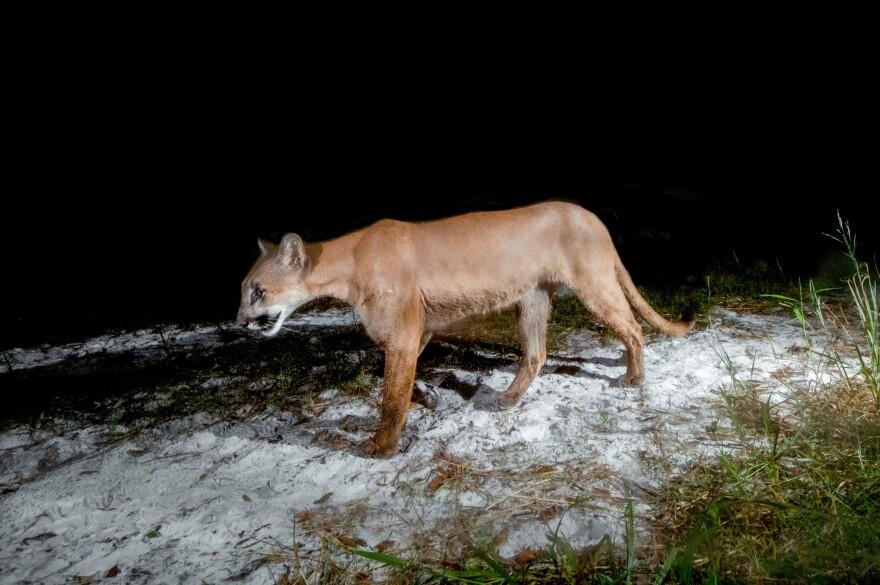 Florida Panther - (c) fStop Foundation .jpg