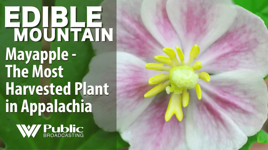 Edible Mountain - Mayapple, the most harvested plant in Appalachia