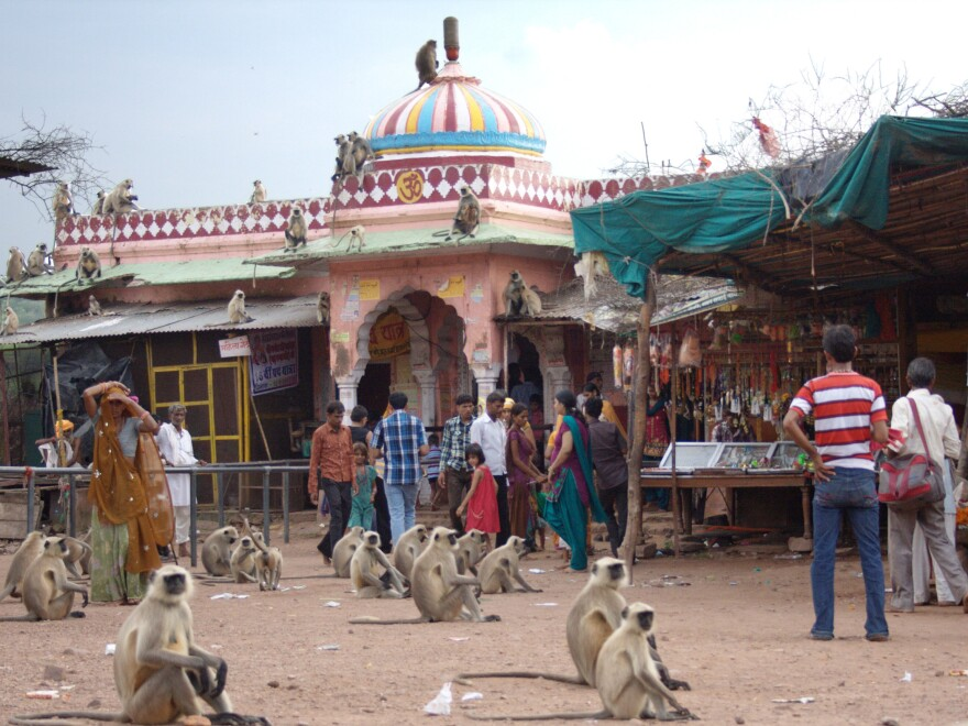 Scavenging monkeys mix with visitors at the temples of the ancient Ranthambore Fort in Ranthambore National Park. Dotted with remnants of India's past glories and its religious heritage, the national parks draw many visitors on pilgrimages.